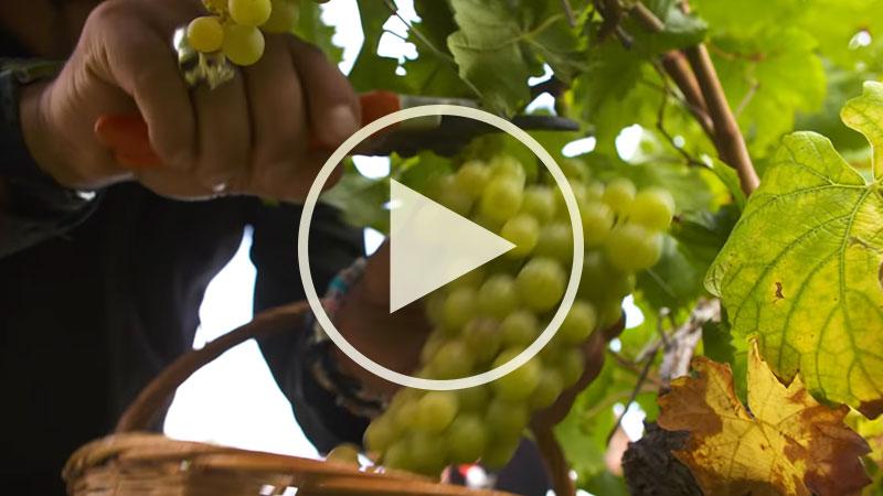 Chef Alessandro Borghese nelle terre dell'ASTI Docg - La vendemmia