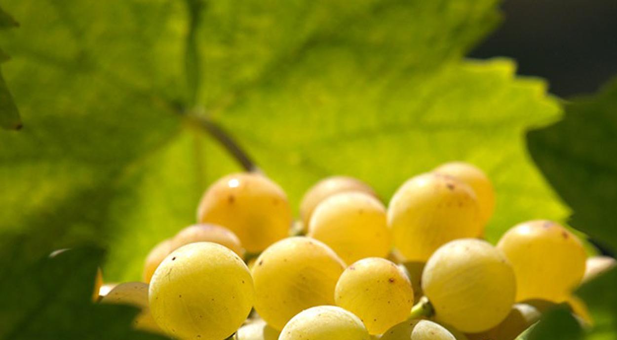 asti grape